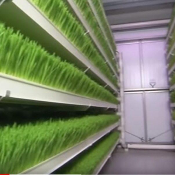en esta imagen se presenta el forraje verde hidropnico (FVH)