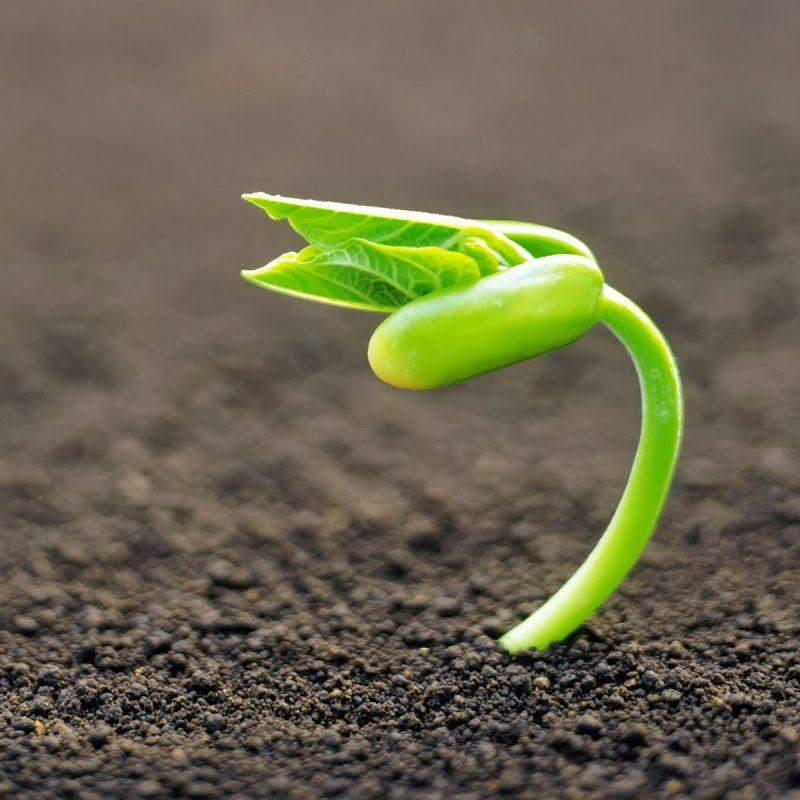 Germinación de semillas para hidroponia